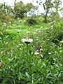 Starr-110331-4703-Erigeron karvinskianus-flowering habit-Shibuya Farm Kula-Maui (24963971612).jpg
