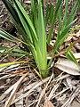 Starr-110411-5036-Dianella sandwicensis-leaves form lavarum-Hawea Pl Olinda-Maui (24964475732).jpg