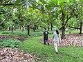 Starr-120606-6997-Artocarpus altilis-grove with Ian and Kim-Kahanu Gardens Hana-Maui (24517794813).jpg