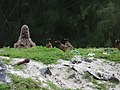 Starr-150331-0806-Coronopus didymus-Mynah Birds-Dump Sand Island-Midway Atoll (24640880534).jpg