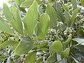 Starr 020227-0068 Acacia mangium.jpg