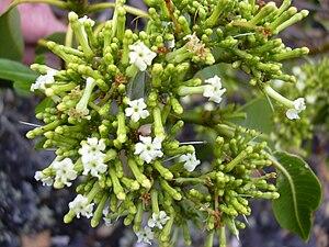 Rauvolfia - Rauvolfia sandwicensis