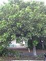 Starr 031204-0002 Cupaniopsis anacardioides.jpg