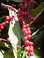 Starr 040509-0006 Cordyline fruticosa.jpg