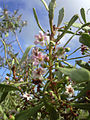 Starr 040513-0008 Myoporum sandwicense.jpg