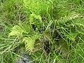 Starr 040522-0028 Dryopteris sandwicensis.jpg