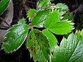 Starr 041211-1384 Fragaria chiloensis subsp. sandwicensis.jpg