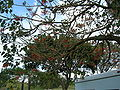 Starr 060121-5948 Erythrina berteroana.jpg
