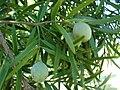 Starr 061224-2855 Podocarpus sp..jpg