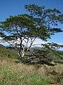 Starr 070402-6332 Falcataria moluccana.jpg