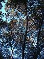 Starr 070727-7647 Ficus benghalensis.jpg