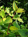 Starr 080117-1931 Abelia x grandiflora.jpg