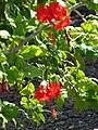 Starr 080531-4845 Hibiscus rosa-sinensis.jpg