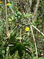 Starr 080604-6205 Ricinus communis.jpg