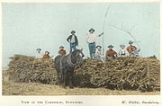 StateLibQld 1 257880 Group of workers posing on top of bundles of cut cane, Bundaberg, ca. 1914