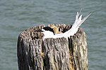 Sterna striata -Bayswater, Auckland City, New Zealand -adult and chick in nest-8.jpg