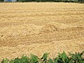 Straw field 2.jpg