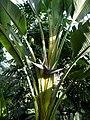 Strelitzia nicolai (2).jpg