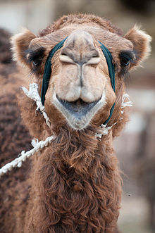 Стихи про верблюда, верблюдов — Стихи, картинки и любовь… | 331x220
