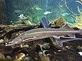 Sturgeon in aquarium zoo ulm.jpg