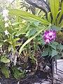 Suvarnabhumi Orchids Farm IMG 20160322 075938 (27170413280).jpg