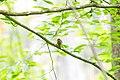 Swainson's warbler (26179622213).jpg