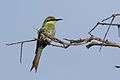 Swallow-tailed bee-eater, Merops hirundineus, at Elephant Sands Lodge, Botswana (31910085340).jpg