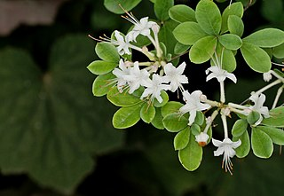 <i>Rhododendron viscosum</i> species of plant