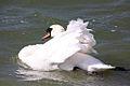 Swan - Grafham Water - April 2009 (3453886388).jpg
