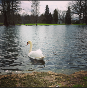 Spring Grove Cemetery - A swan off the shore of Geyser Lake, one of the small bodies of water located within the cemetery.