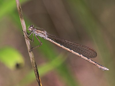 The Siberian winter damselfly