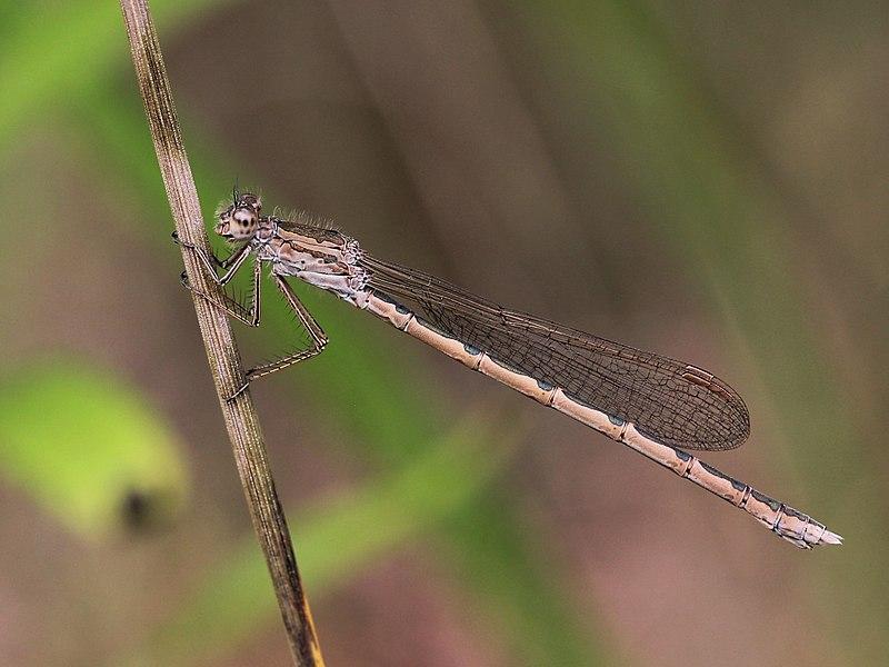 File:Sympecma paedisca 01.JPG