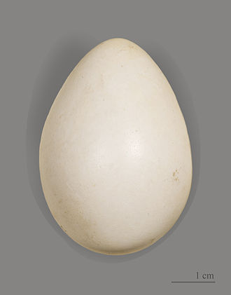 Black grouse - Egg of Tetrao tetrix tetrix - MHNT