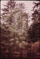 TAMARACK TREE (LARIX LARICINIA), IN THE ADIRONDACK FOREST PRESERVE - NARA - 554589.tif