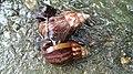 TW Lissachatina fulica3.jpg