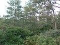 Tamarack trees at the Kent Bog.jpg