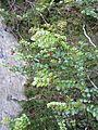 Tawhai-Silver Beech (6706374987).jpg