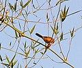 Tawny-bellied Babbler.jpg