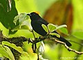 Tawny-crested Tanager (2686342510).jpg
