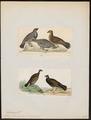 Tetrao obscurus - 1700-1880 - Print - Iconographia Zoologica - Special Collections University of Amsterdam - UBA01 IZ17100347.tif