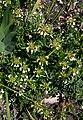 Teucrium montanum 4.jpg