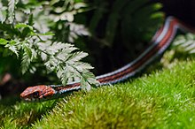 A San Francisco garter snake slithers along the grass
