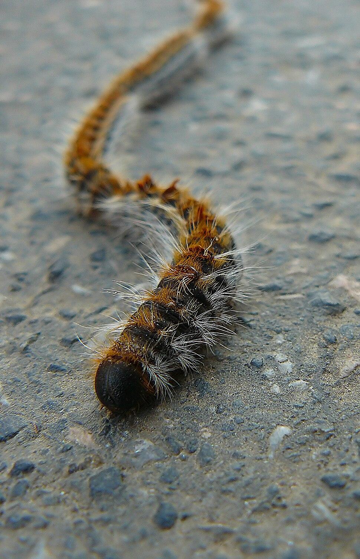 Thaumetopoea pityocampa Galiza