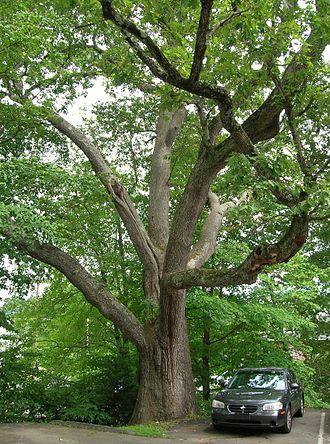 "Watertown, Connecticut - ""The 1812 Oak"" in Watertown"