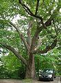 The 1812 Oak, Watertown, CT - August 4, 2011.jpg