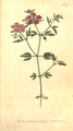 The Botanical Magazine, Plate 241 (Volume 7, 1794).png