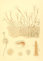 The Monograph of the Gymnoblastic or Tubularian Hydroids. Plate XV.png