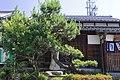 The Pine Tree of Tokaido (the Second), Arimatsu Midori Ward Nagoya 2009.jpg