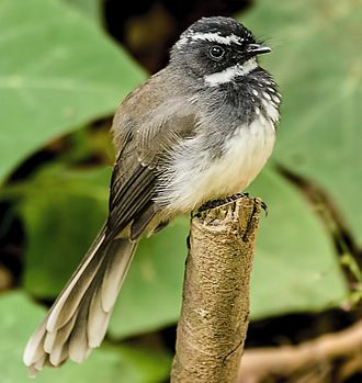 White-throated fantail - Image: The White Throated Fantail