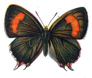 Brown hairstreak - Female